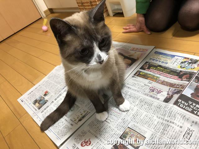 猫あるある〜新聞を広げるとのってくる