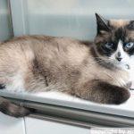 食器棚が好きな猫