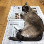 猫あるある:新聞を広げると必ず乗ってくる
