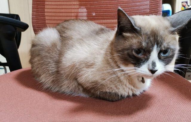 猫の香箱座りって不思議!