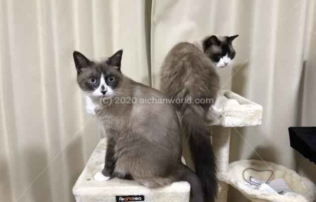 [猫] ラグドールとスノーシュー